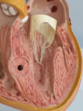 Fournitures médicales Biologie cardiaque humaine Modèle anatomique (R120101)