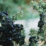 Bacca di Goji del nero dell'alimento biologico della nespola