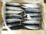 Gefrorener Bonite /Frozen Blaufisch-/Bonito-Thunfisch