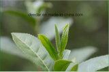 Tè verde del germoglio organico
