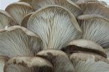 Machine de blanchiment pour le champignon de couche