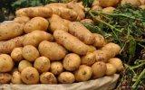 수출을%s 2017 새로운 신선한 감자