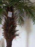 폴란드 시뮬레이트한 단 하나 Chrysalidocarpus Lutesens Bonsai