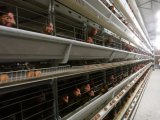 يشبع إرتفاع آليّة - كثافة بطارية دواجن تجهيز دجاجة قفص مع ربح جيّدة