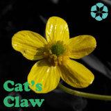 Het Uittreksel van de Klauw van de kat/Ranunculus het Uittreksel van Ternatus