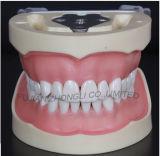 Testa fittizia dentale poco costosa per l'allievo o la clinica