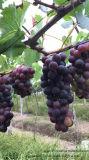 フルーツの植わることのためのUnigrowの土肥料