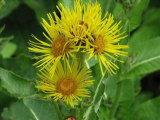 Порошок выдержки Helenium Inula/L. Helenium Inula