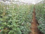 UNIGROW organische Meststof voor Golf/het Planten van het Gazon