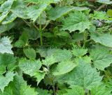 Het Uittreksel van de netel, Organisch Kiezelzuur van de Wortel van de Netel voor het Supplement van het Voedsel