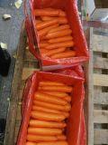 Buona qualità per la carota fresca dell'esportazione