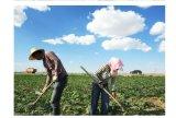 Chinese Groene Zaden van de Zonnebloem 5009 met Uitstekende kwaliteit