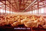 Equipo que introduce del pollo automático con la casa de la casa prefabricada del bajo costo