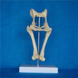 Cão de ensino veterinário articulação da bacia modelo de esqueleto lombar da anatomia (R190115)