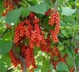 Extrait d'Evodiamine Evodia d'extrait d'Evodia Rutaecarpa pour des nourritures et le supplément