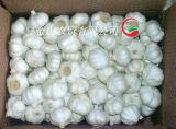 Aglio bianco normale fresco (5.5cm ed aumentano)