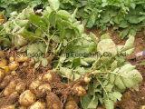 Konkurrierende frische Kartoffel
