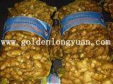 Gengibre fresco fornecido pelo fornecedor dourado