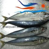 Bevroren Vreedzame Makreel (PM002)