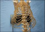Модель скелета собаки горячего сбывания кошачая большая