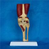 Modèle médical d'anatomie squelettique d'articulation du genou (R040105)