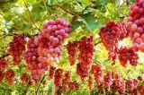 Traubensaft-Puder für Getränke-und Nahrungsmittelaroma