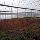 식물성 성장하고 있는을%s 상업적인 고딕 필름 온실