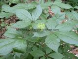 Естественная выдержка корня женьшень Eleutheroside B+E Siberian