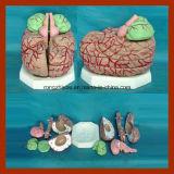 Modelos plásticos anatómicos del cerebro humano con las arterias