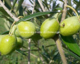 Oleuropein Hydroxytyrosol olivgrüner Blatt-Auszug