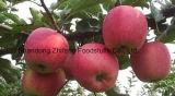 Nueva estrella Apple roja fresca para exportar