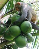 飲料および食糧味のための即刻のココナッツ粉