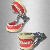 Modello di studio dentale di ortognatodonzia con le parentesi di ceramica