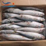 Het leveren van de Bevroren Vreedzame Makreel van Zeevruchten