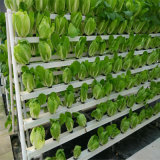Handelsgewächshaus-wachsende Wasserkultursysteme für Kopfsalat