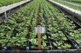 Cinta agrícola del goteo para la irrigación del jardín
