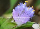 BetaEcdysterone/Cyanotis Arachnoidea Auszug 98% des hohen Reinheitsgrad-HPLC