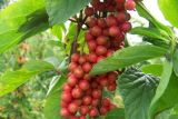 Выдержка Schisandra выдержки Fructus Schisandrae Chinensis для еды и дополнения