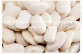 大きく白い腎臓豆85PCS