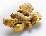 自然なショウガのエキス5% Gingerols