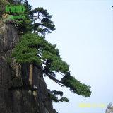 Extracto de corteza de pino francés con 95% de proantocianidinas