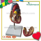 La escala humana del 1:1 del corazón en 2 porciones ensambla con el número de la pintura (pH03-055)