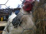 Sechseckiges Galvano galvanisiertes dann Belüftung-überzogenes Huhn-Ineinander greifen für Geflügel