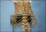 Il laboratorio di scheletro canino di modello della visualizzazione del cane di formato standard di formazione insegna agli animali veterinari