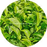 Estratto di erbe EGCG del tè di /Green dell'estratto di vendita calda e polifenoli del tè