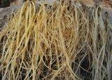 Одичалый корень горечавки