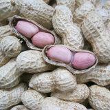 중국에서 쉘에 있는 새로운 작물 땅콩