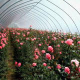 꽃 양상추를 위한 중대한 단 하나 경간 큰 필름 온실
