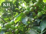 調整の血圧のOleuropein 40%、50%の60%のオリーブ色の葉のエキス