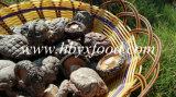 Гриб Shiitake гриба верхнего качества свежий ровный для сбывания